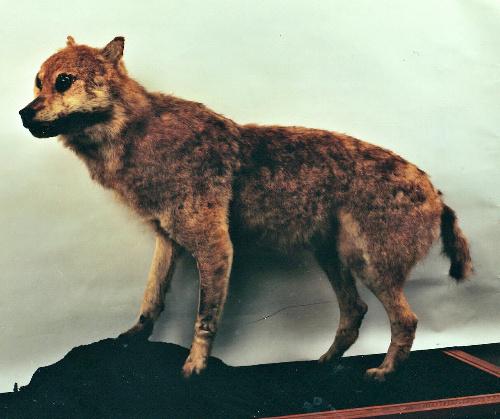 ニホンオオカミの画像 p1_11