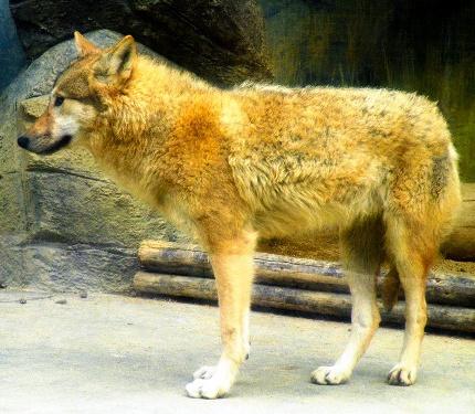写真:脚が長く耳が大きいチュウゴクオオカミ。前回... ニホンオオカミのはく製と比べてください=