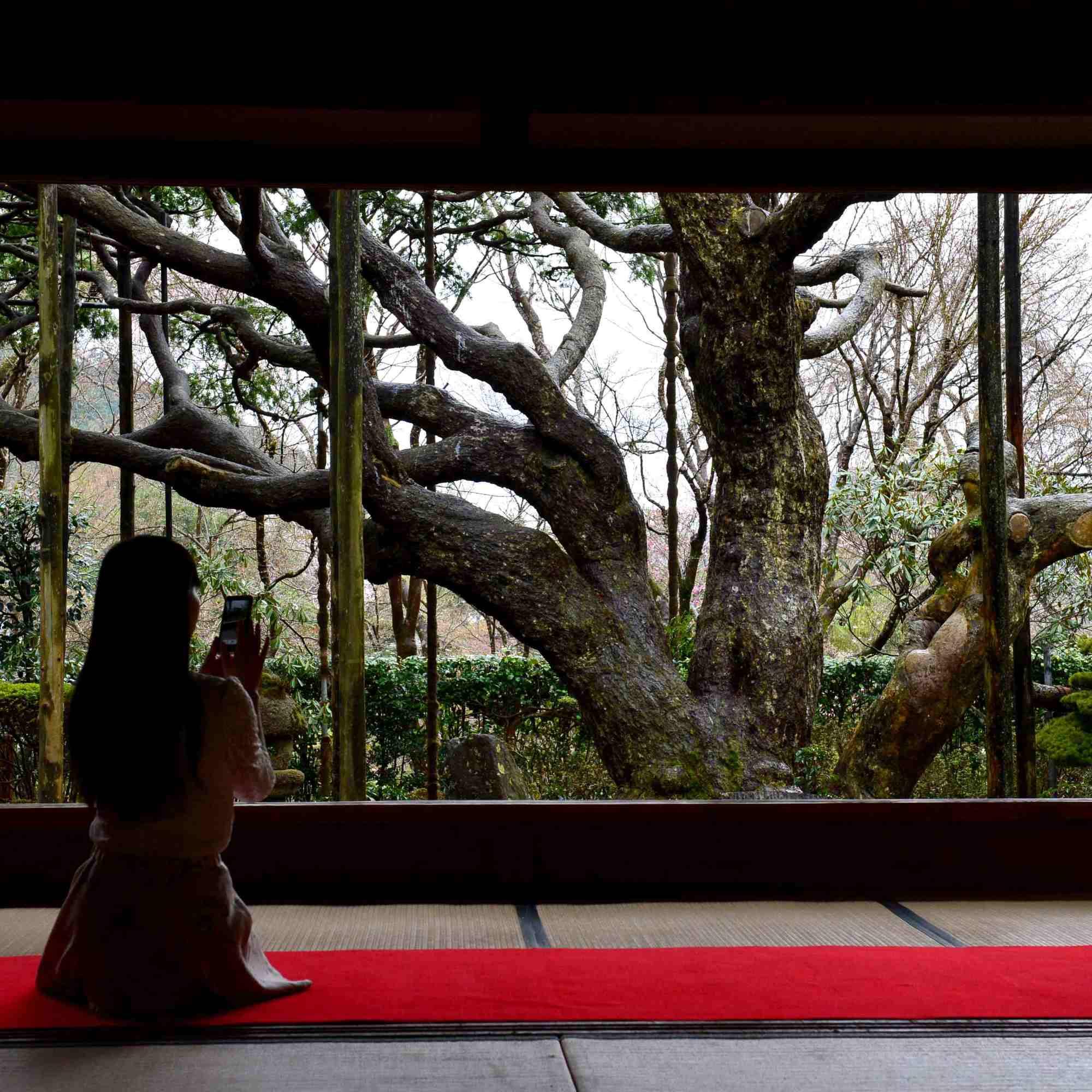 「額縁庭園」に構える五葉の松(拝観料は別料金)