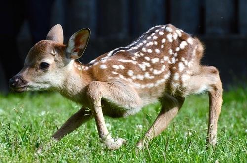 写真:草の上で立ち上がろうとする子鹿=奈良公園内にある鹿の保護施設「鹿苑(ろくえん)」