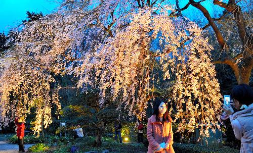 写真:ライトアップされた枝垂れ桜=御殿場市東田中の秩父宮記念公園 ライトアップされた枝垂れ桜=御