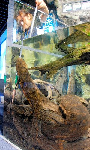 写真:京都水族館で飼育されているオオサンショウウ... されているオオサンショウウオの交雑種たち