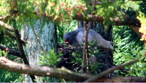 写真:ひなを生み、えさを与える親鳥=新潟県佐渡市、新潟大提供 ひなを生み、えさを与える親鳥=新潟