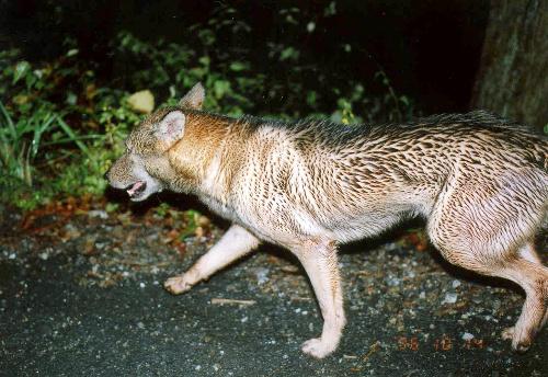 ニホンオオカミの画像 p1_24