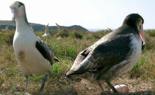 写真:無受精卵と判明した聟島で初めてのアホウドリの卵。つがいのメス(写真... 無受精卵と判明し