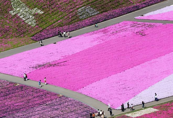 【動画】丘一面、鮮やかなじゅうたん 栃木でシバザクラ満開