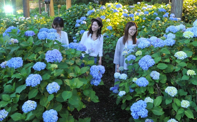 【動画】アジサイ、毎週末ライトアップへ 京都・宇治の三室戸寺