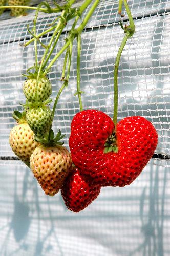 イチゴの画像 p1_26