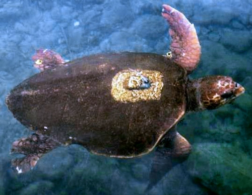 アカウミガメの画像 p1_7