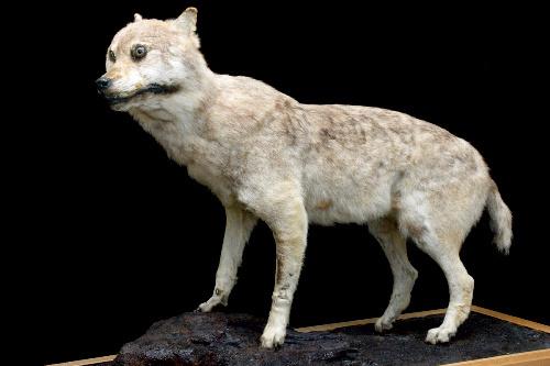 ニホンオオカミの画像 p1_18
