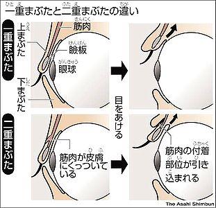 asahi.com: 二重まぶたと一重、違いは? - ののちゃんのDO科学