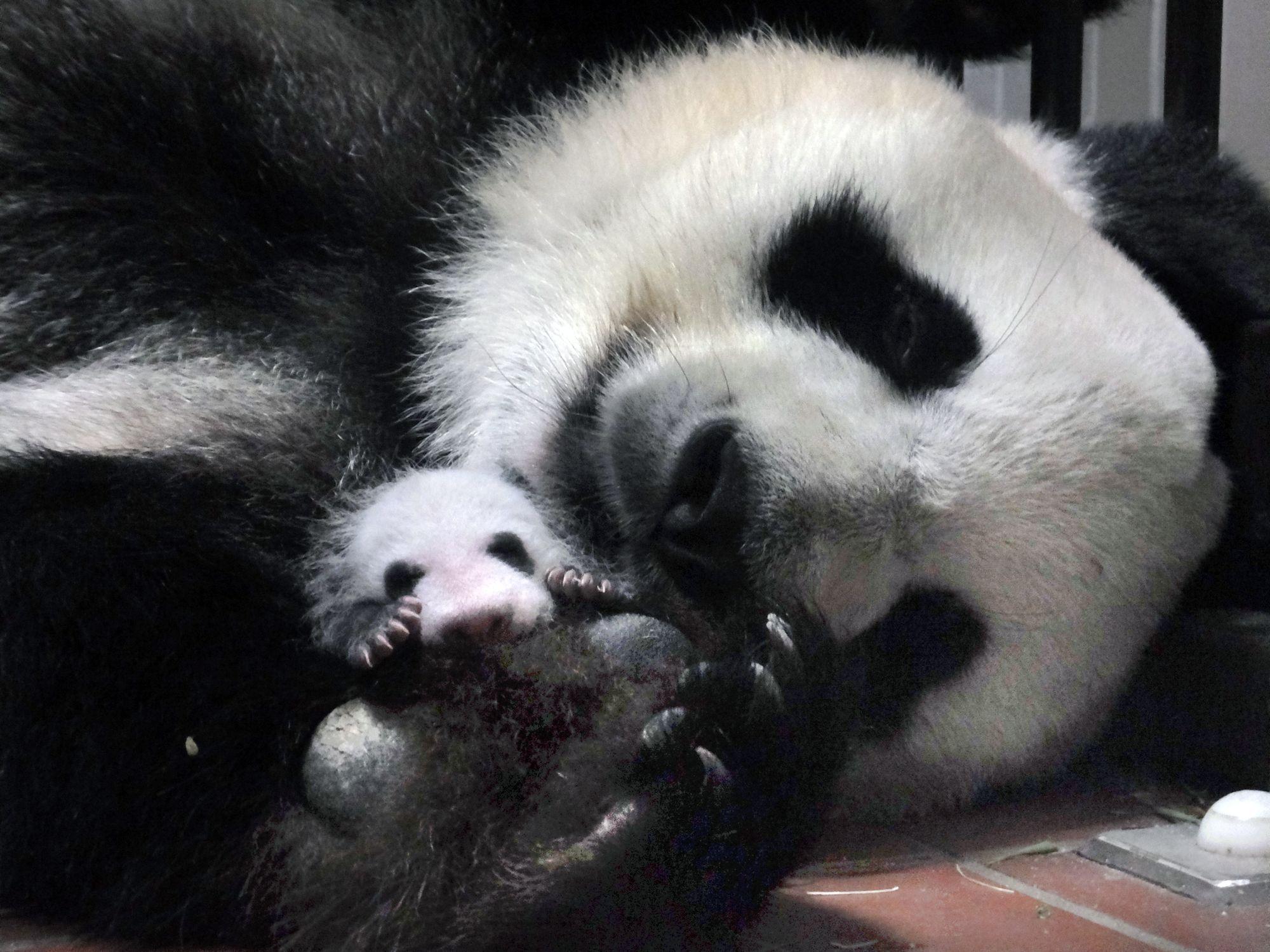 生後26日目のパンダの赤ちゃんと母親のシンシン=7月7日、東京 ...