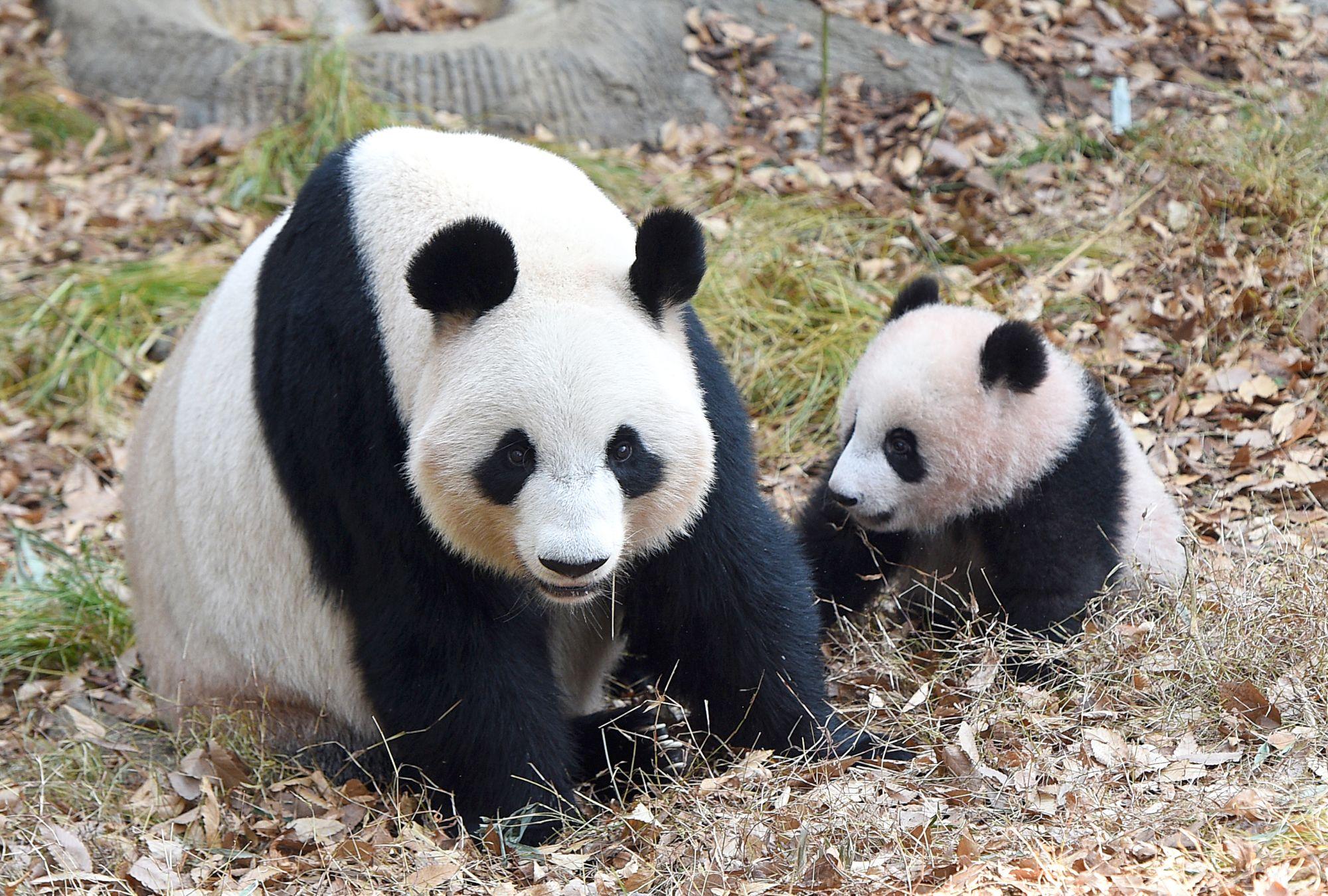 シャンシャン(右)と母親のシンシン=12月16日、東京動物園協会 ...
