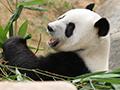 香港のパンダたち
